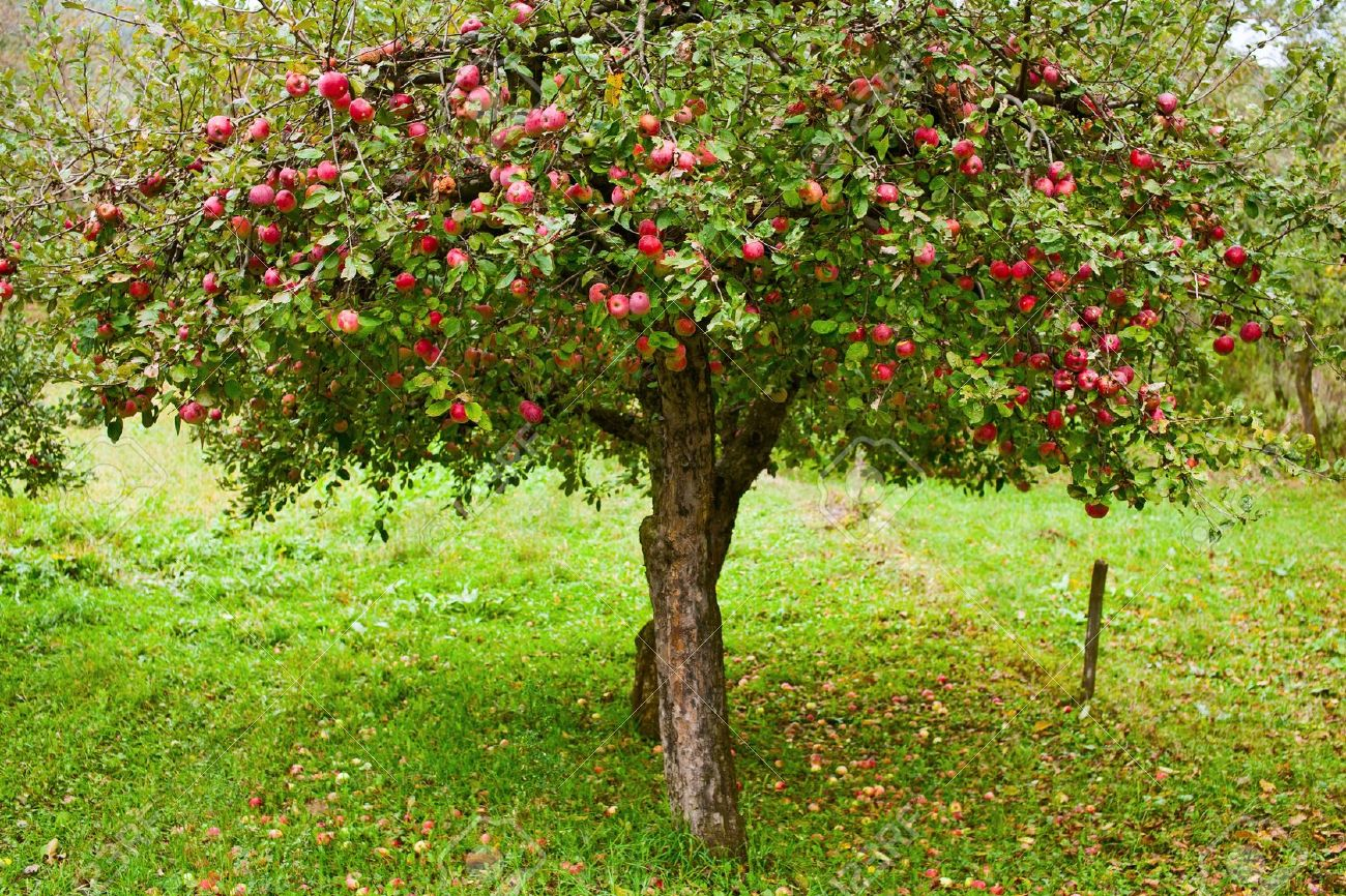 Apple Trees In An Orchard With Red Apples Ready For Harvest Stock Photo Picture And Royalty Free Image Image 7999347