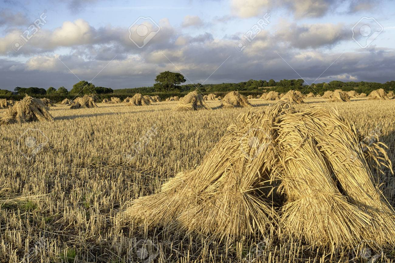 traditional harvest wheat sheaves