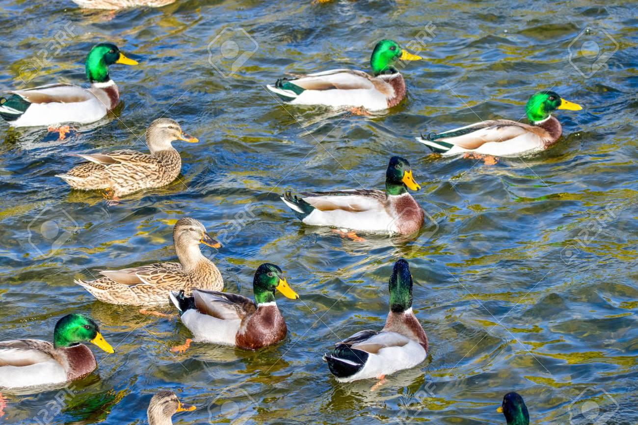 bird image wild ducks