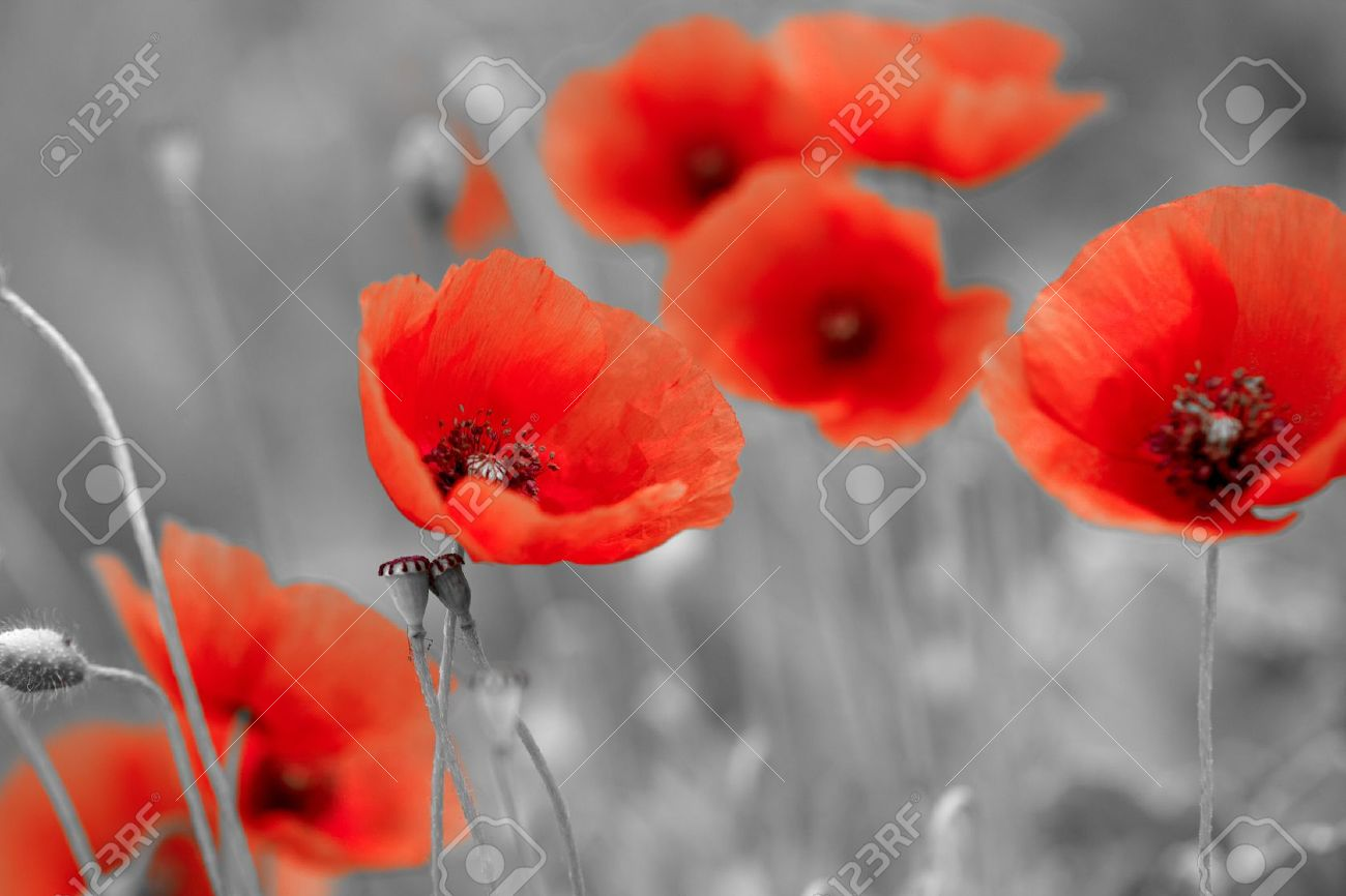 hight resolution of red poppies on bw field stock photo