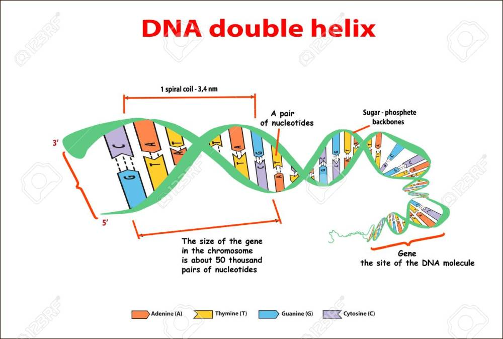 medium resolution of dna structure double helix on white background nucleotide phosphate sugar and bases