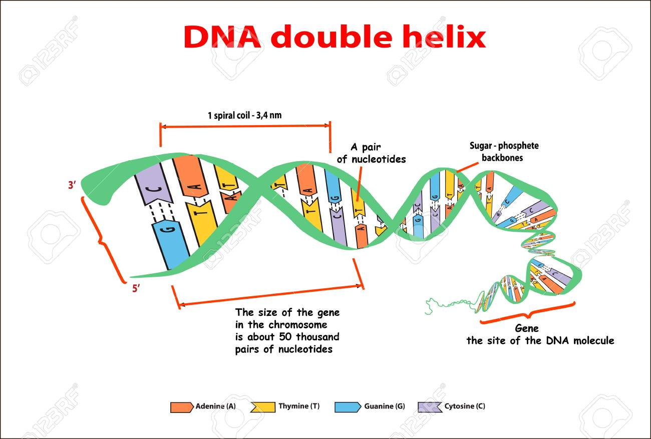 hight resolution of dna structure double helix on white background nucleotide phosphate sugar and bases