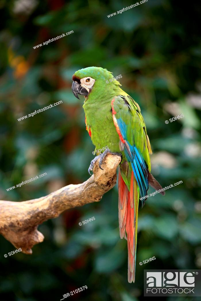 chestnut fronted macaw or
