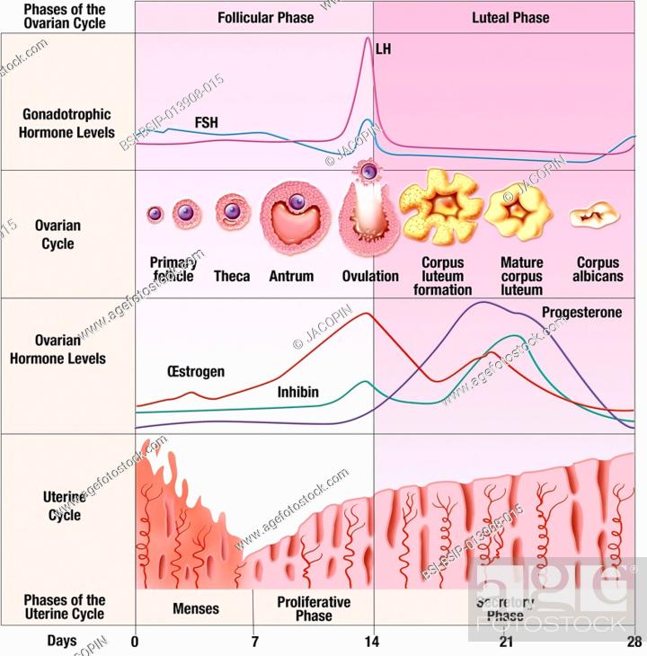 Schematic illustration of the menstrual cycle over 28 days ...