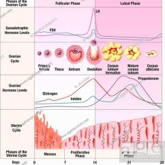 Menstrual Cycle Diagram With Ovulation Jvc Wiring Harness Schematic Illustration Of The Over 28 Days And Stock Photo Without Fertilisation After From Top To Bottom Hypophyseal