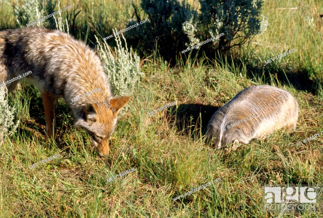 Coyote - & American Badger (Taxidea taxus) co-hunting prey in burrow holes (Canis latrans), Stock Photo, Picture And Rights Managed Image. Pic ...