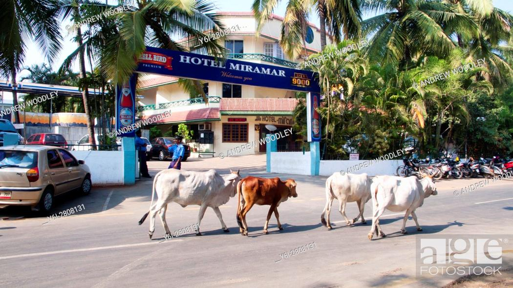Cows Wander Along Street Outside Hotel Miramar Daman India