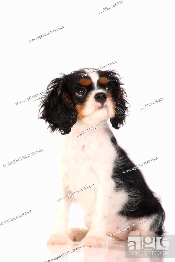 Cavalier King Charles Spaniel Puppy Cut : cavalier, charles, spaniel, puppy, Cavalier, Charles, Spaniel, Puppy, Stock, Photo,, Picture, Rights, Managed, Image., SSJ-134020, Agefotostock