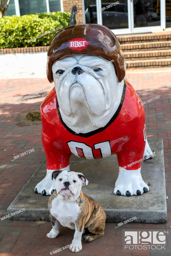Georgia Bulldog Puppies : georgia, bulldog, puppies, English, Bulldog, Puppy, Front, Sculpture, Wearing, Baseball, Uniform,, Athens,, Georgia,, Stock, Photo,, Picture, Rights, Managed, Image., IBR-3897290, Agefotostock