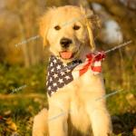 Portrait Of A Ten Week Old Female Golden Retriever Puppy Wearing Flag Like Patriotic Bandana Foto De Stock Imagen Derechos Protegidos Pic F76 849735 Agefotostock