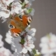 Butterfly On The Blooming Cherry 3