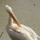 Pelican Cleans Feathers Big Beak