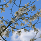 Blooming Magnolia Tree with Blue Sky