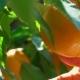 Hand Breaks From Branch Ripe Orange