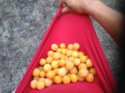 plum picking
