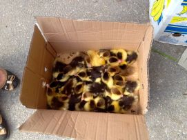 considering to get ducklings for the trailer