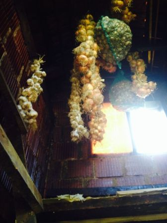 onion and garlic in the smoke/ dry house