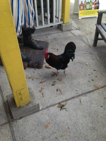 Chickens roaming the streets in Grand Caymans.