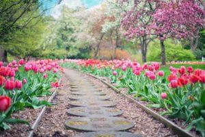 A garden path stretching between beautiful tulips.
