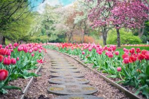 A garden path stretching between beautiful tulips.