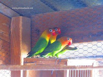 Papagaji fišeri