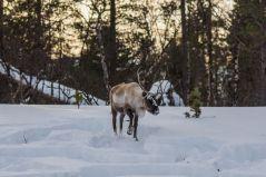 Miloš je zabeležio i ovog irvasa na snegu / Foto: Miloš Terentić