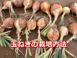 玉ねぎの栽培方法と時期。肥料や病気で失敗しない育て方