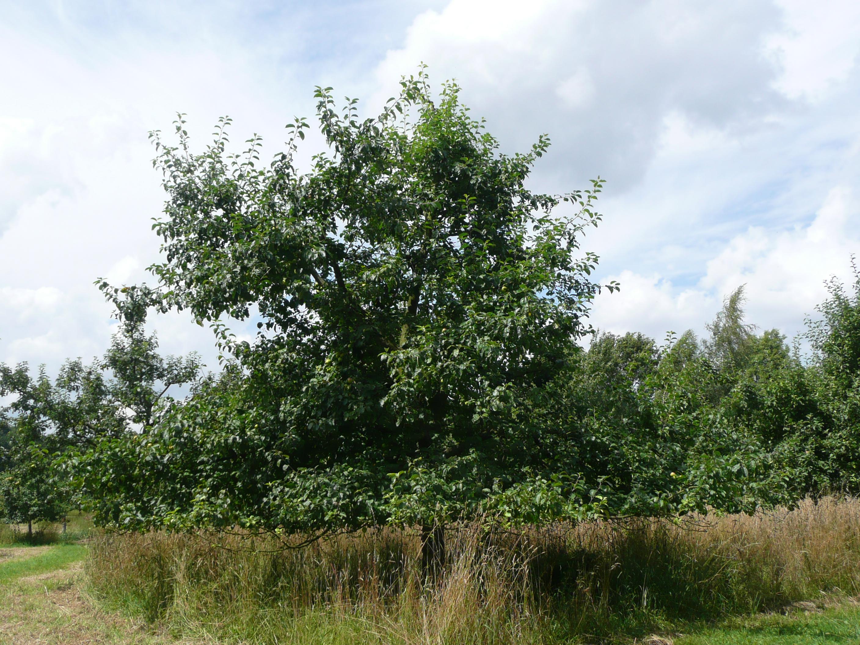 Apfelbaum im Ertragsstadium