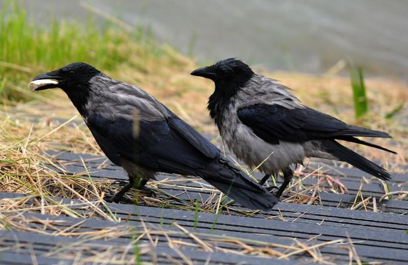PETICIJA Stanovnici koprivničkih kvartova protiv vrana: 'Neshvatljivo je da su ovakve štetočine zaštićene dok čovjek nije'