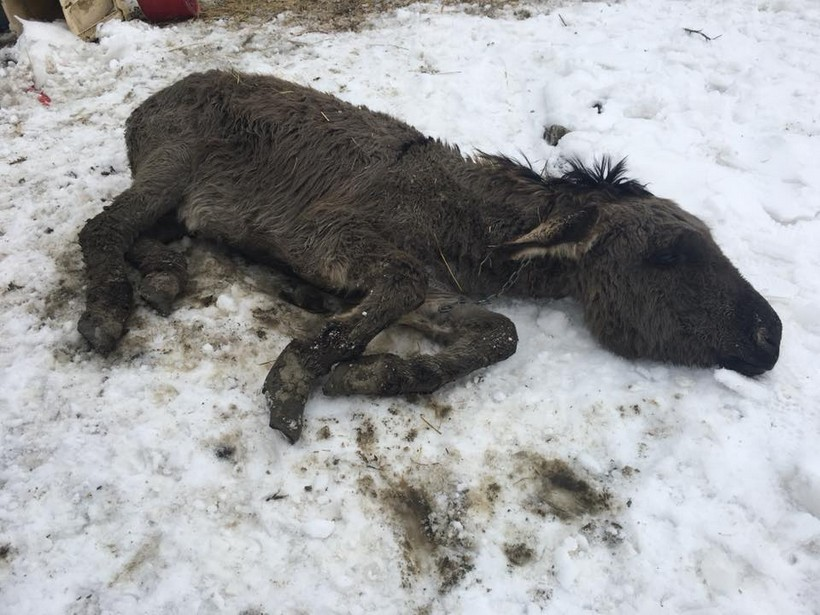 Budrovci-farma-magarci-Antun Ponos FB