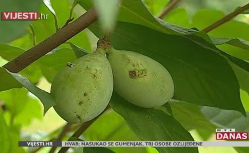 Podno Sljemena raste Indijanska banana – 10.000 puta je jača od kemoterapije