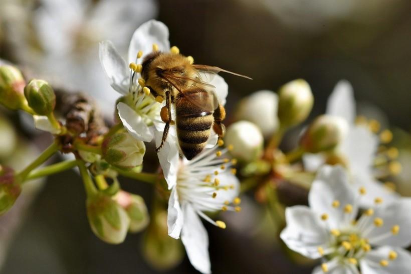 Svjetski je dan pčela: 'Samo u EU oprašivači su neophodni za opstanak 84% poljoprivrednih vrsta, i 76% proizvodnje hrane'