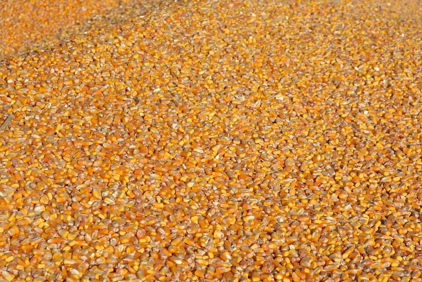 Ukrali više od tone kukuruza