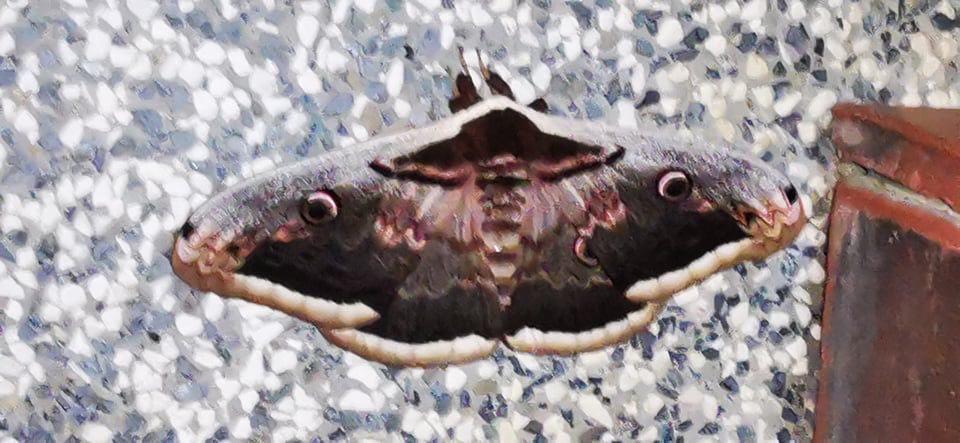 🎦 U Križevcima snimljen lijep leptir