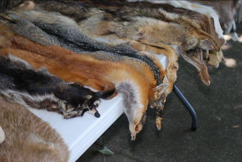I Estonija zabranila uzgoj životinja radi krzna