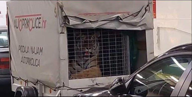 Prijatelji životinja zgroženi prizorom tigra na trajektu