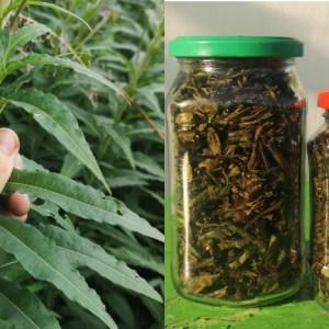 Каждое лето занимаюсь сбором трав для чая. Рассказываю, как просто собирать и сушить иван-чай для всей семь