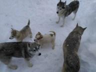 20200117152514077263 - Šest godina uzgaja energične polarne pse: Sibirski haskiji iz doline Sane