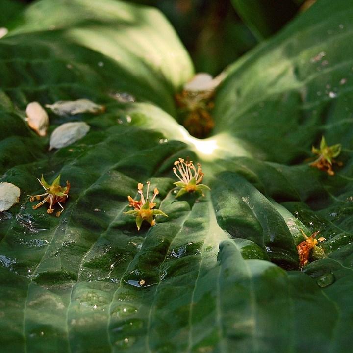 Seeds resting on a hosta leaf in dappled sunlight