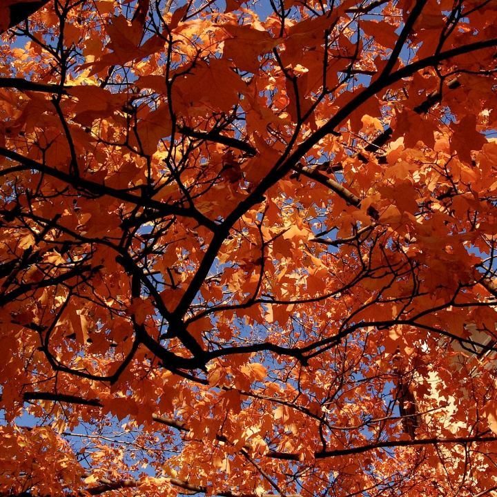 Backlit Maple Tree with orange leaves against a bright blue sky.