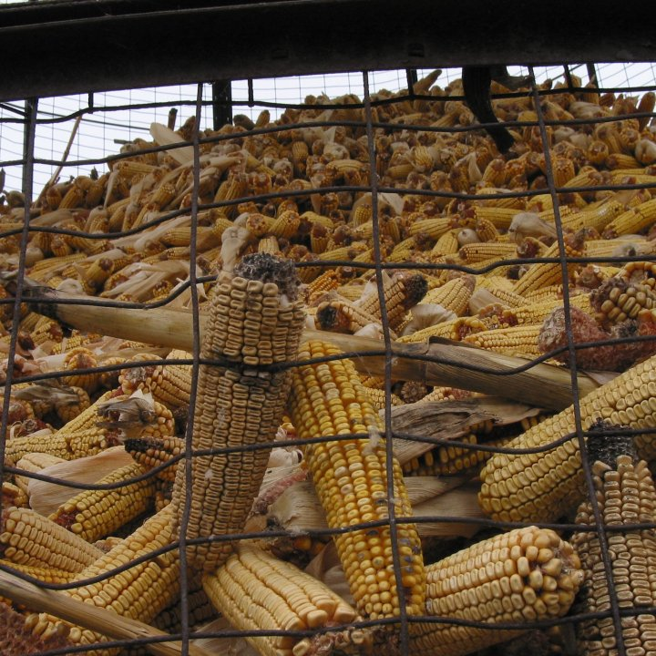 Feed corn drying in a silo cage