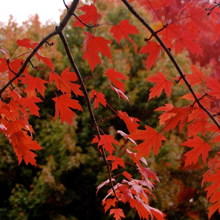 Red leaves, Maple