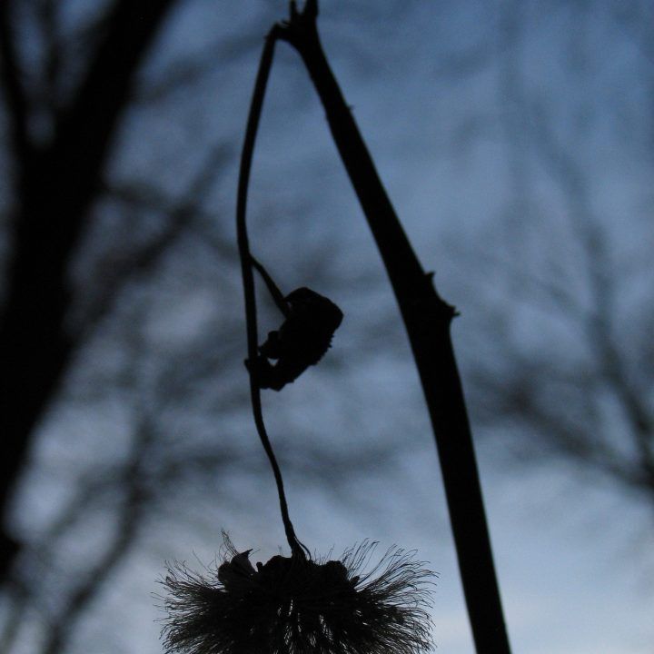 A silhouette of a thistle-like flower