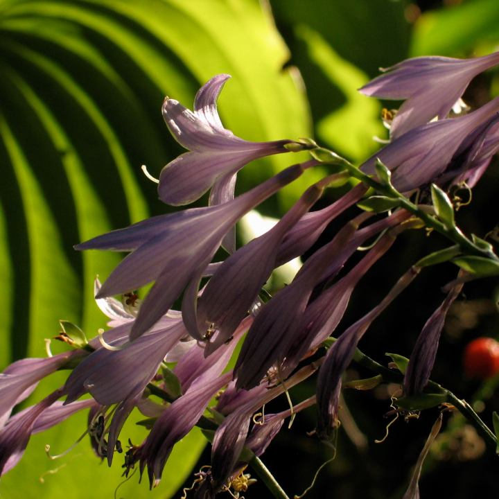 Purple Hosta flowers in the sun