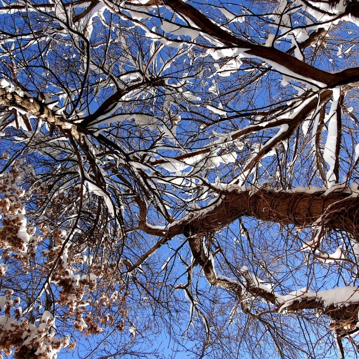 looking up at a clear blue sky with various tree smattered with snow