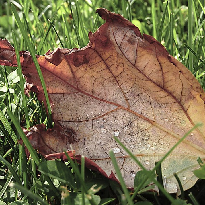 backlit oak leaf, pale red and yellow, on green grass