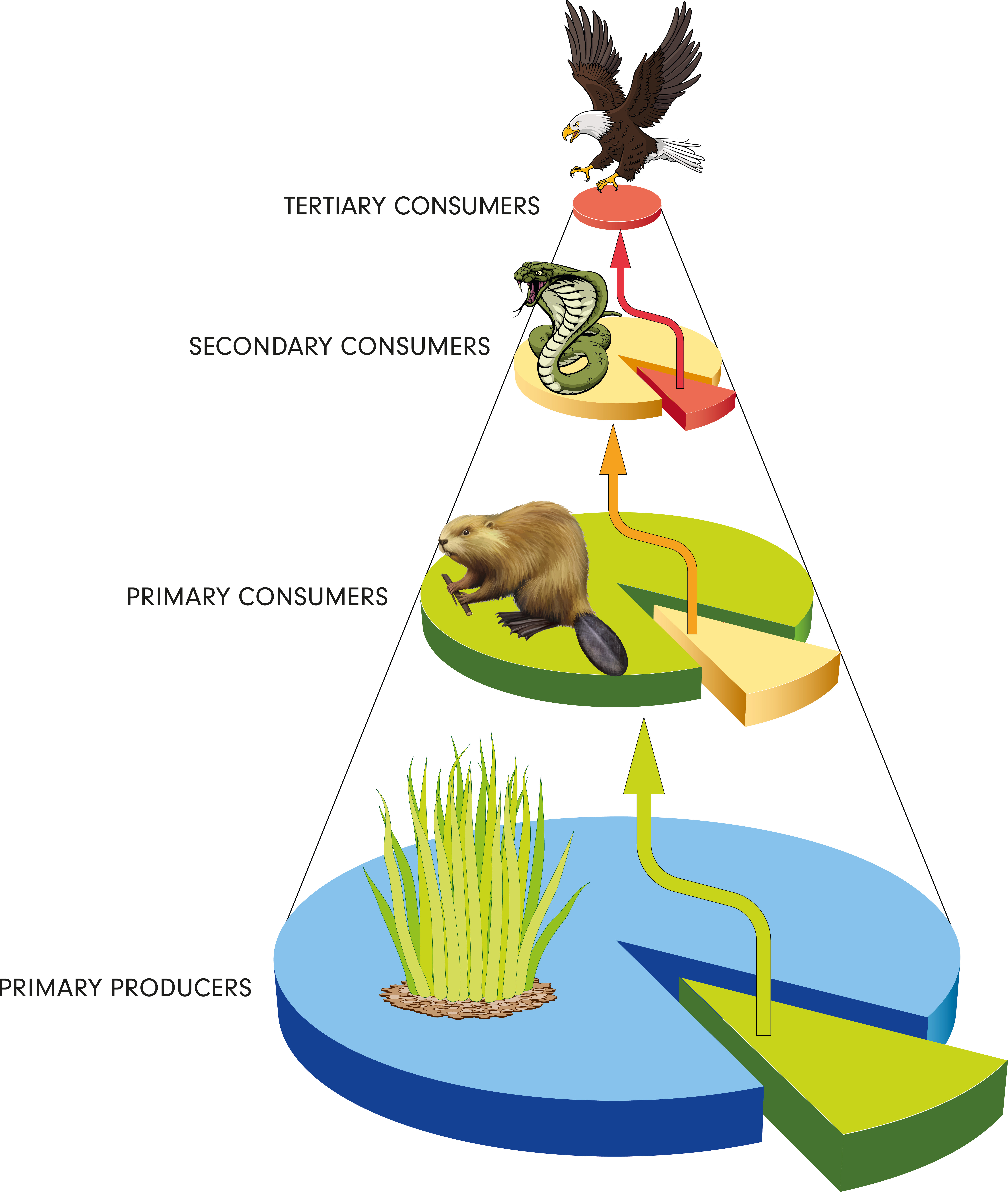 Biology Food Chain Level 2 Activity For Kids