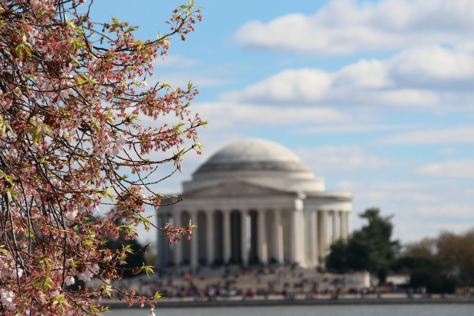 Cherry blossom tree at the end of bloom in front of the Jefferson Memorial at Tidal Basin, Washington, D.C.
