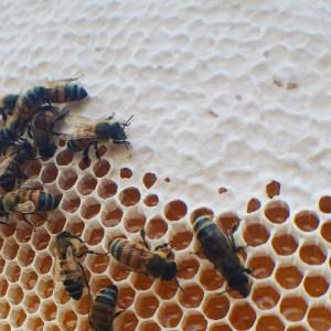 Aggieland Honey