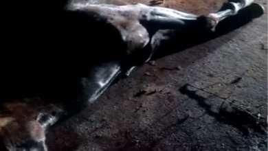 Photo of Motociclista morre após bater em cavalo na rodovia que liga a Ponte Nova